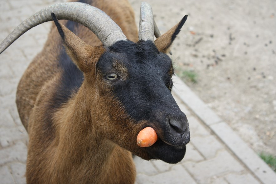 Goat with carrot. Blame the goat for the bad composition. ;)