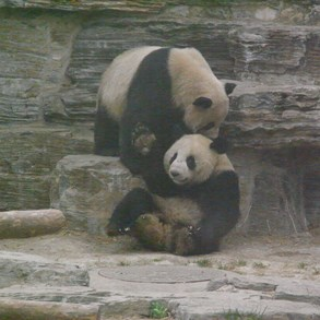 "Pandas ""fighting"". (ISO at 1600.)"