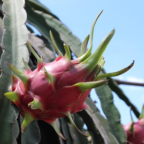 Fresh dragon fruit.